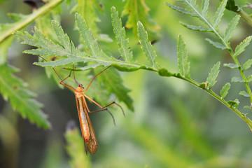 apterobittacus apterus bug