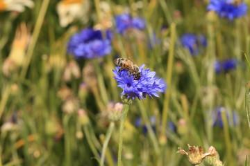 Wildbiene im Sommer