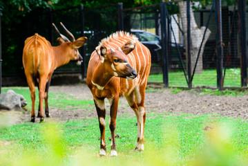 antelope bongos in the zoo