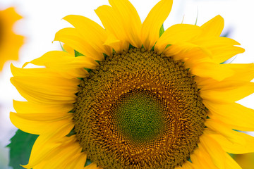 blooming sunflower on a white background, close-up
