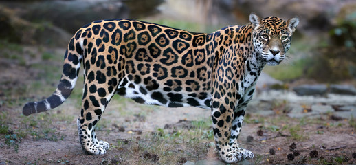 Side view on Jaguar, Panthera onca, the biggest cat in South America, gazing directly at camera  against blurred rocky background.