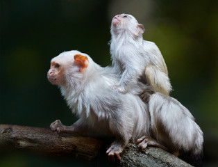 Silvery marmoset, Mico argentatus, small amazonian monkey, male with juvenile on its back, lives in Eastern Amazon Rainforest, Brazil