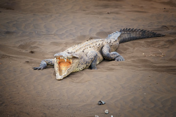 American Crocodile, Crocodylus acutus wit fully open mouth, showing teeths, relaxing on the sandy beach of Rio Tarcoles river. Crocodile in its natural environment. Tarcoles river, Costa Rica.