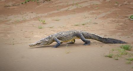 American Crocodile, Crocodylus acutus walking on the sandy beach of Rio Tarcoles river. Crocodile in its natural environment. Tarcoles river, Costa Rica.