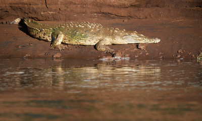 Low angle view of huge American crocodile, Crocodylus acutus, relaxing on muddy river bank. Old crocodile with marks of green algae on the back in its natural environment. Rio Tarcoles, Costa Rica.