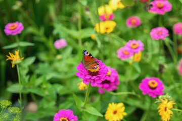 Wild bright flowers and Peacock butterfly, meadow in summer, sunny day. Picturesque colorful background
