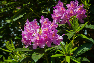 beautiful english pink wild spring shrub flowers of azalea