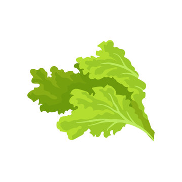 Bright green lettuce leaves. Fresh and healthy vegetable. Vegetarian nutrition. Flat vector for advertising poster of grocery store