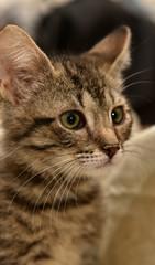 sad gray with stripes kitten