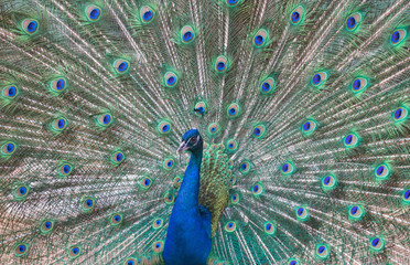 beautiful peacock with green and blue tail