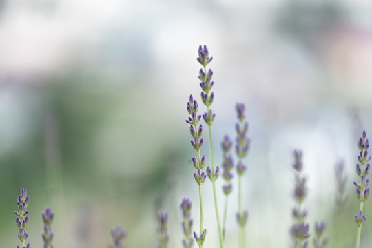 Violet lavender blooming fields in furano, hokaido, japan.Closeup focus ,flowers background.