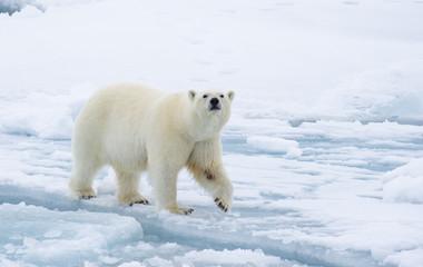 Poster Ijsbeer Polar bear walking in an arctic.