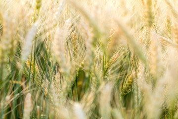Wheat Rye Field, Ears of wheat close up. Harvest and harvesting concept.