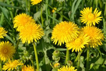 Yellow dandelions in the green grass. Bright fluffy flowers of dandelions and green buds.