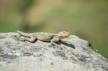 Asian mountain lizard Caucasian agama ( Paralaudakia caucasia ) basks in the sun sitting on a rock in the ancient city Uplistsikhe (Uplistsikhe), Georgia