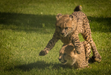 Geparden Sport
