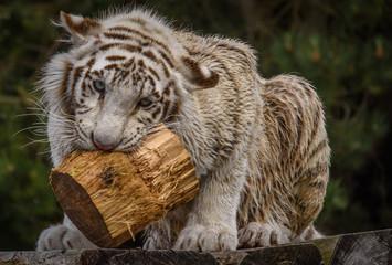 Spielzeug für Tiger