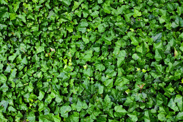 Ivy texture background