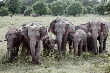 Elephants in  a National Park from Sri Lanka