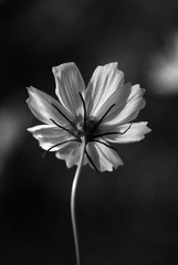 flower in front of other flower in background,  flower among tree, flower with blur background, black and white