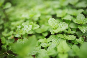 Fresh Mint Leaf, Cameron Highland Peppermint Agriculture