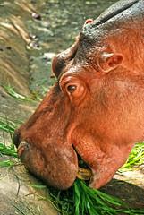 Hippopotamus grazing food