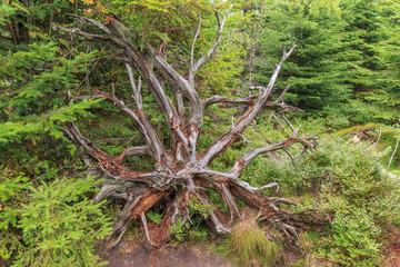 Wurzel eines umgestürzten Baums am Lotharpfad