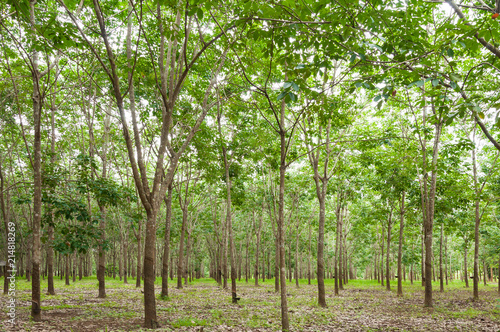 Row of para rubber plantation in South of Thailand,rubber