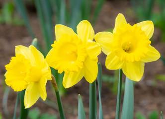 Daffodil flower blossoms