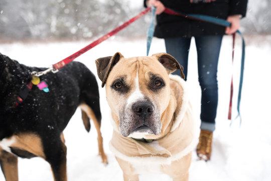 Woman walking dogs in snow