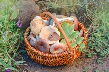 Mushrooms in a basket. Basket with edible mushrooms