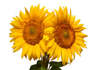 Two sunflowers isolated on white background. Flower bouquet. The seeds and oil. Flat lay, top view