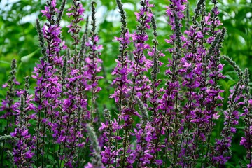 High purple flowers of loosestrife stand out against the green garden.
