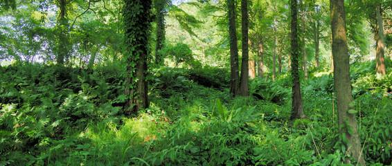 Wald mit Farn und Efeu - Panorama