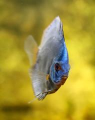 Diskusfisch im Aquarium, Aquaristik