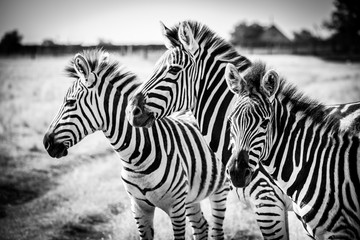 Three zebras
