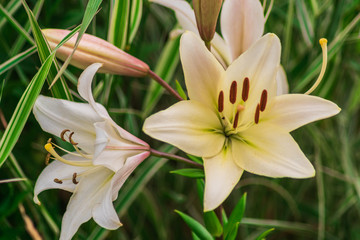 White lilies in a garden.