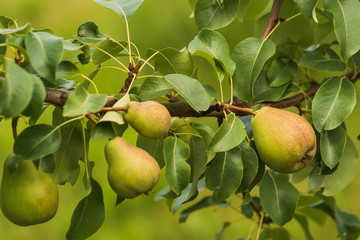 Growing pears on branch in a garden.