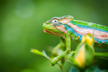 Photo sur Plexiglas Cameleon Close up image of a chameleon with vivid colors on a green background