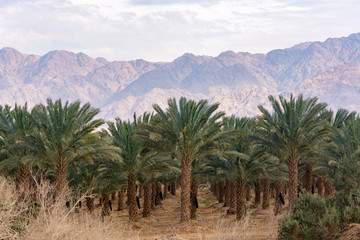 Plantation of Phoenix dactylifera, commonly known as date or date palm trees in Arava desert, Israel, cultivation of sweet delicious Medjool date fruits, view on Jordan mountains