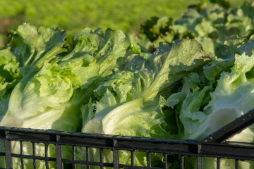 Fresh organic green lettuce leaf vegetable growth outdoor on field, ready to harvest