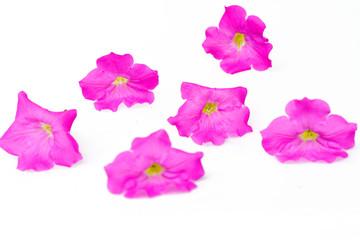 Petunia  flowers on white background