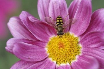 Common Banded Hoverfly (Syrphus ribesii) sitting on the flower of a pink Marguerite Daisy (Argyranthemum frutescens)