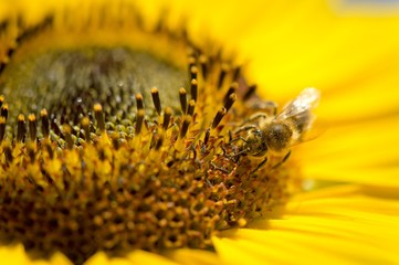 Western honey bee (Apis mellifera) perched on a sunflower (Helianthus annuus), detailed view of the blossom, Stuttgart, Baden-Wuerttemberg, Germany, Europe