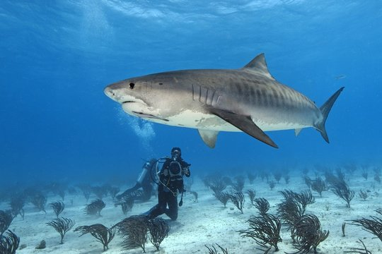 Diver and Tiger Shark (Galeocerdo cuvier) with Slender sharksucker (Echeneis naucrates) over sandy bottom, Bahamas, Central America