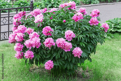 Large Peony Bush Outside Flower Bush With A Lot Of Pink Flowers
