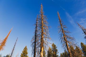 Tall, Dead Trees