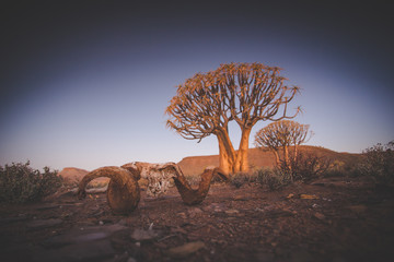 Wide angle landscape photo of the sunset over the Quiver tree forest in Nieuwoudtville in the Northern Cape of South Africa