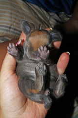 New born baby lop rabbit kit animal pet. Cute bunny lop eared kits.