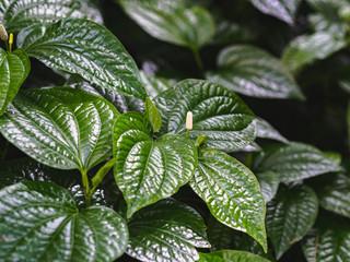 Betel leaves background. Green betel leaves in the garden.